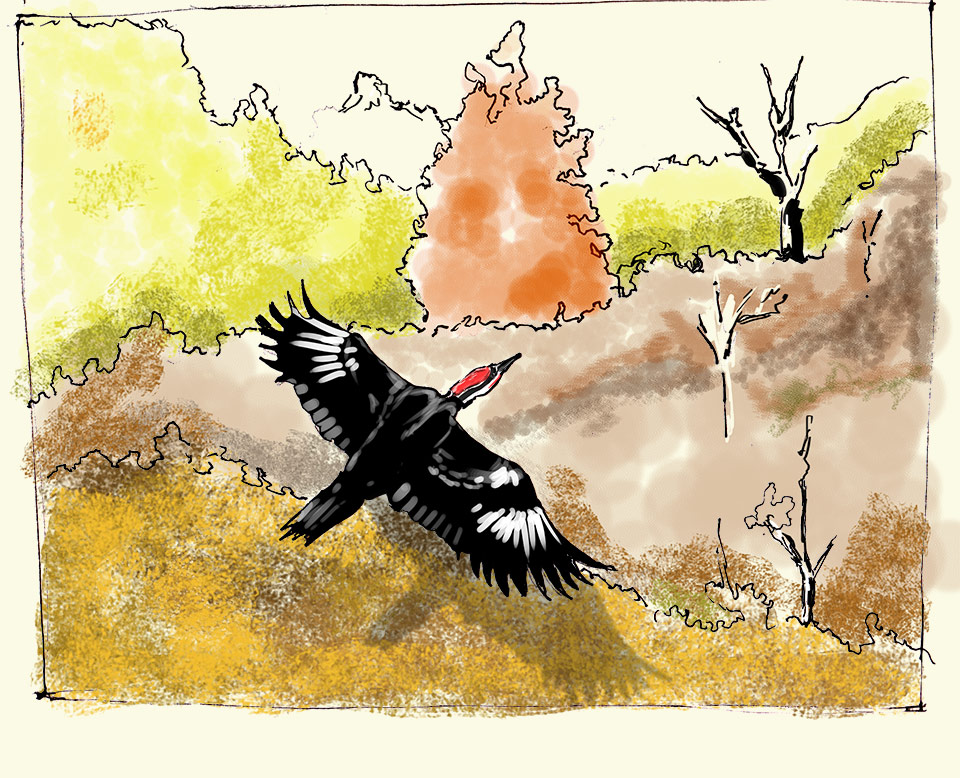 Rapt Journal Pileated WoodPecker over Fall Color