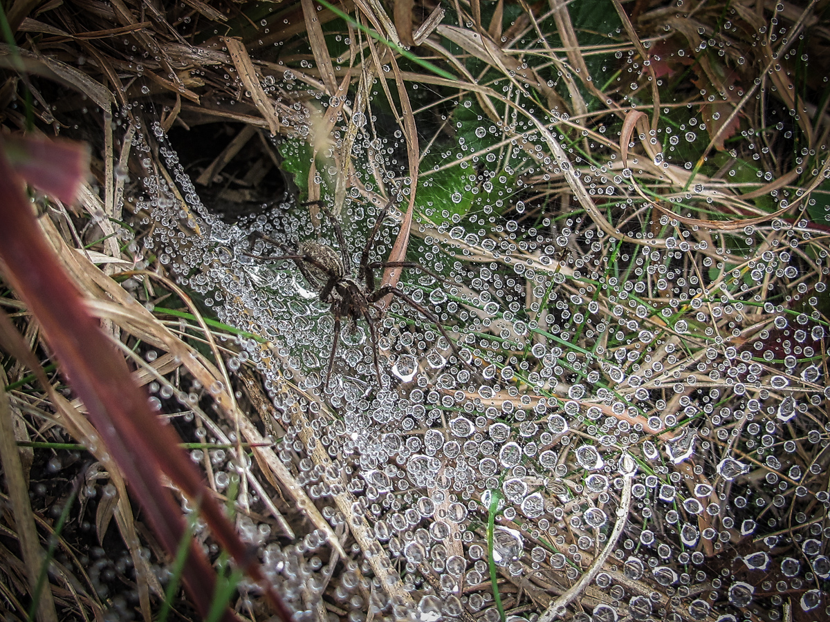 Funnel web spider before feeding